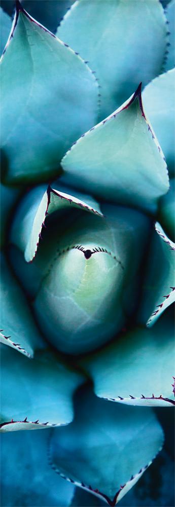 Pusle Blue Echeveria, 1000