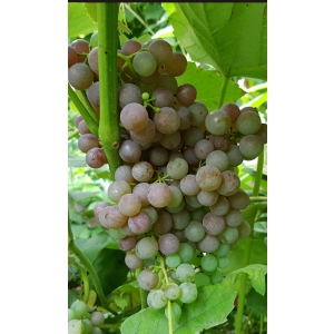 Reliance Pink Seedless