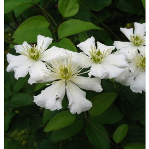 clematis fargesii.