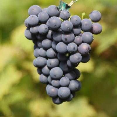 rondo grapes.jpg