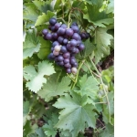 viinamari_grape_vitis_matjas janos k.jpg